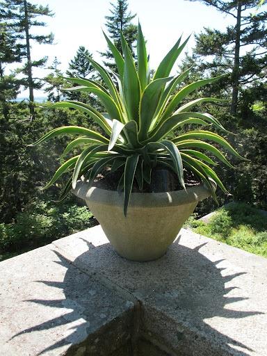 Large Snake Plant