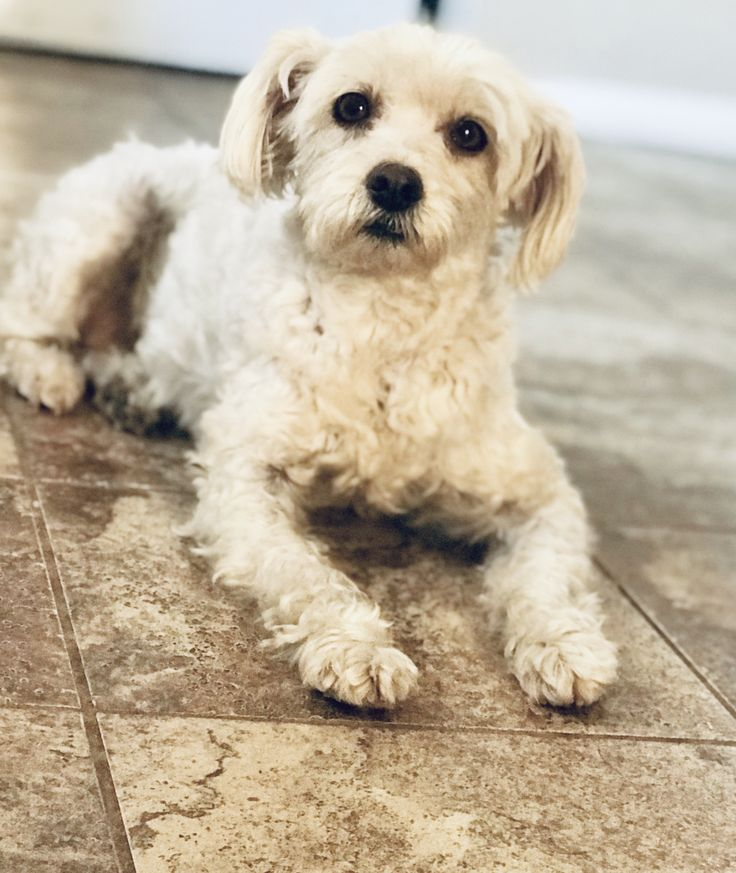 Adopt Sasha On We Need A Home Dogs Poodle Mix Dogs Animals