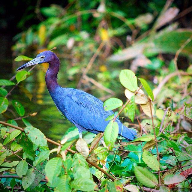 Blue heron seen by Leah scouting the river for dinner in Tortuguero, Costa Rica. #takenbyesplanade #costarica #nationalpark #blueheron #wanderlust #bucketlist #centralamerica #travel #river #travelbucketlist