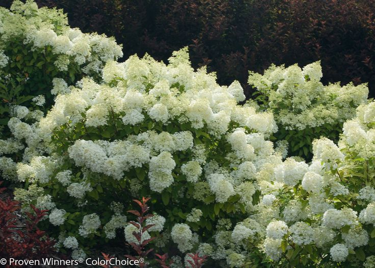 Bobo panicle hydrangea, Hydrangea paniculata ILVOBO, 2016 Bayside.  Planted on either side of the path to store bikes.