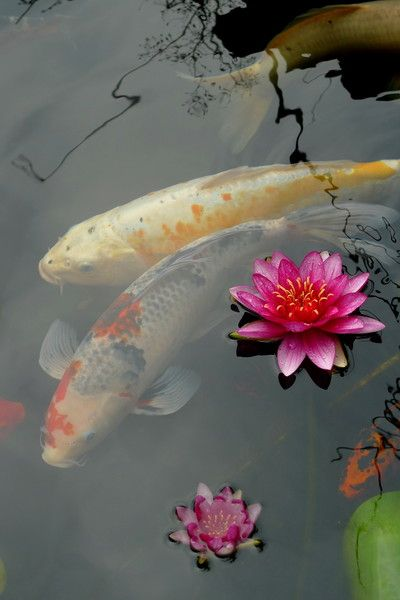 It's very relaxing to watch the unhurried, graceful movements of koi beneath the glassy stillness of the water.
