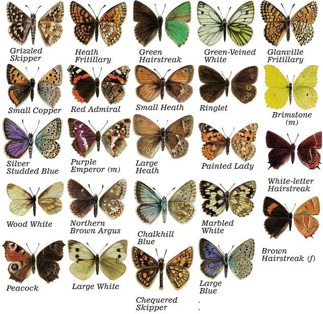 All British butterflies except the ones whose caterpillars eat the cabbages but then - live and let live if you can!
