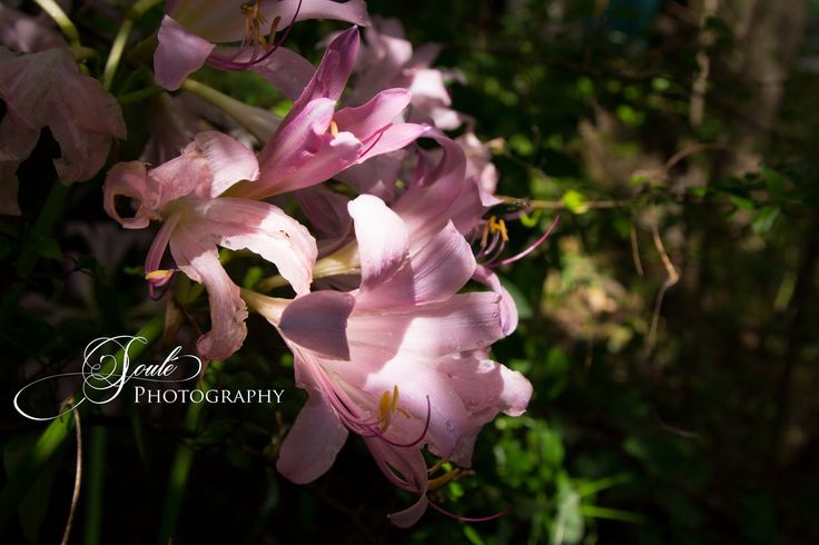 Wild naked ladies (not that kind) growing in a drainage ditch.