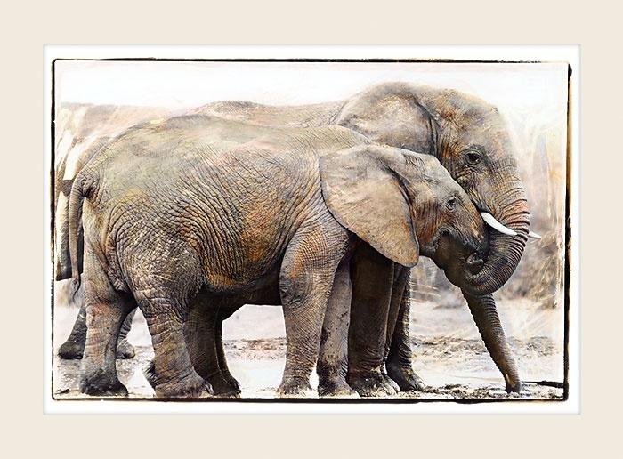African Wildlife - Addo Elephants - Marlene Neumann Fine Art Photography  www.marleneneumann.com  neumann@worldonline.co.za