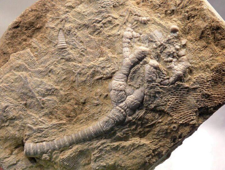 Fosili - Page 5 Efdce5656f2515922263234df5c6e06b--fossil-alabama