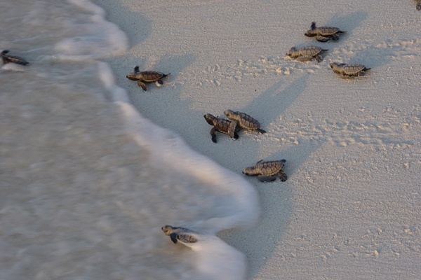 Baby turtles crossing the sand into the ocean, at the Seychelles.