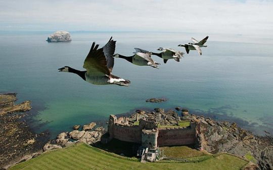 Barnacle geese Tantallon Castle, North Berwick, East Lothian, Scotland by Christian Moullec