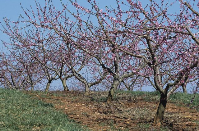 Peach trees (Prunus persica, U.S. Department of Agriculture plant hardiness zones 5 to 8) are vulnerable to a range of pests and diseases.