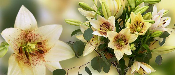 """Unser Lilienbouquet """"Spotify Sweet"""" wird begleitet von Eukalyptuszweigen und präsentiert sich in zeitloser und schlichter Eleganz. Die neutrale Farbe der Lilien wirkt beruhigend und passt zu jedem Accessoire.   Wir liefern dieses Bouquet bis 28.September  StarFlower Blumenversand"""