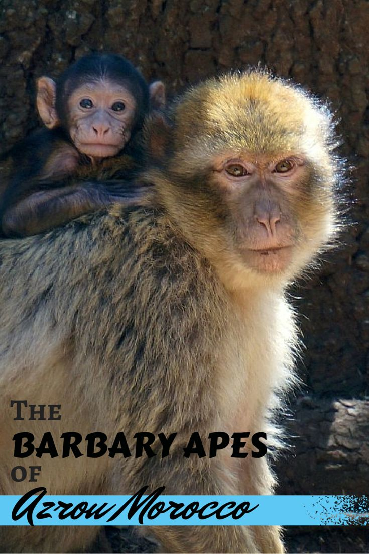 Only about an hour away from busy Fez and Meknes is the calm and tranquil village of Azrou, deep in the Middle Atlas Mountains. It is here that you can see the Barbary Apes in the surrounding cedar forests! A must do on a vacation in Morocco!