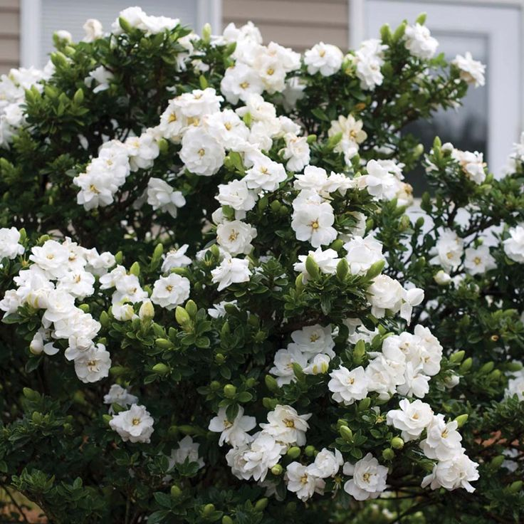Gardenia 'Crown Jewels' - Part of the Alan Titchmarsh Collection - Shrubs & Roses - Thompson & Morgan