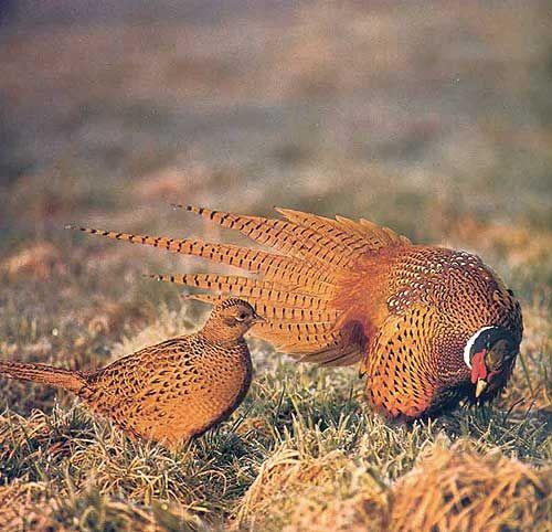 Le specie oggetto di caccia: il Fagiano Comune (Phasianus colchicus).