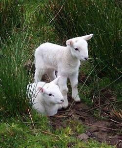Ovelhas. As ovelhas são gado ovino.