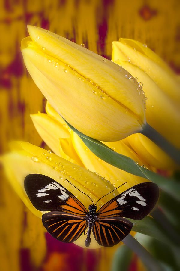 Yellow Tulips With Orange And Black Butterfly Photograph  - Yellow Tulips With Orange And Black Butterfly Fine Art Print