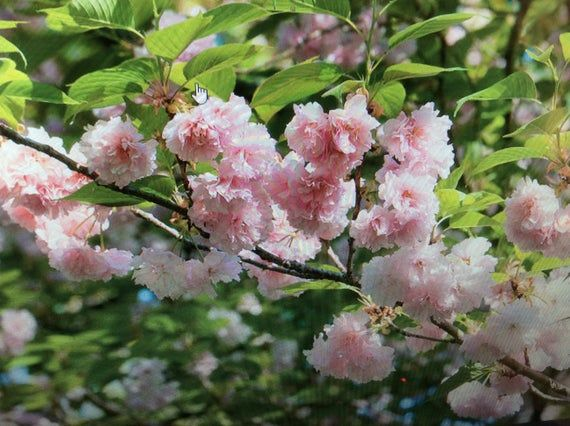 Nice Kwanzan Cherry Tree 2 Ft Easy Instructions Included Etsy In 2021 Flowering Cherry Tree Japanese Cherry Tree Kwanzan Cherry