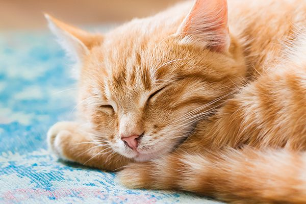"We've compiled a few facts about the orange tabby cat that address common questions like, ""Are all orange cats tabbies?"" ""Are all orange tabby cats male""?"