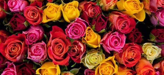 de beaux rosier en pleine forme rem des de grand m re conseils et id es jardin pinterest. Black Bedroom Furniture Sets. Home Design Ideas