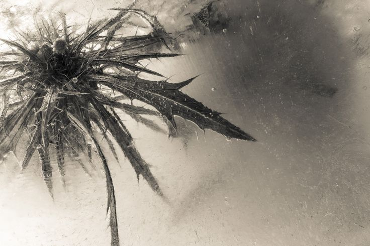 Thistle suspended in ice 01 by Kevin Lake