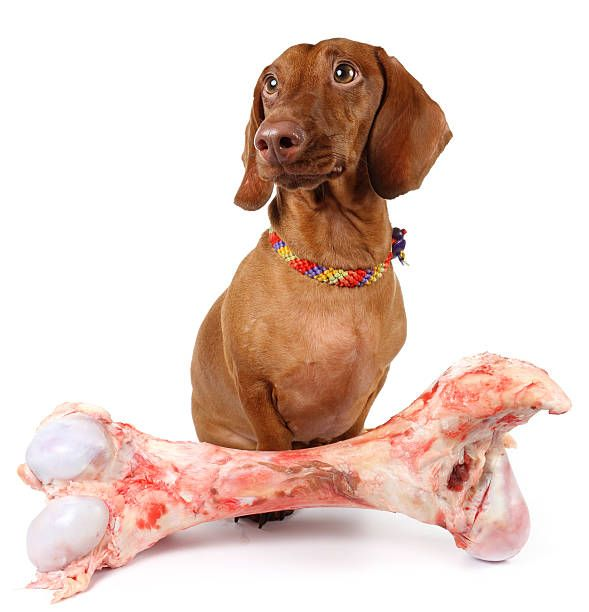 Top Foods You Should Not Let Your Dachshunds Eat Dachshund Bonus