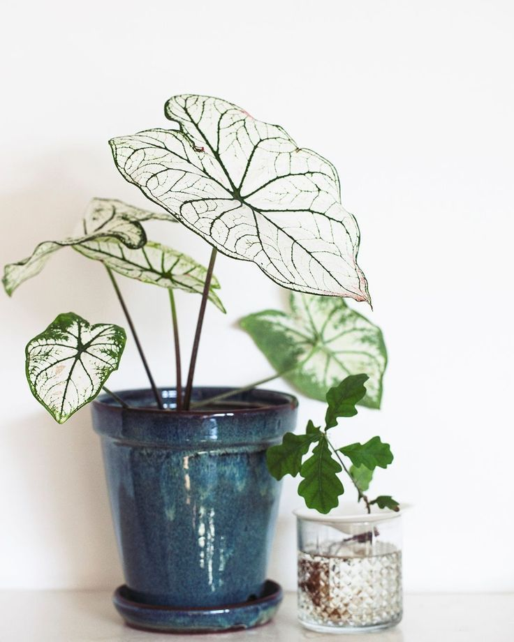 A white Caladium   Plants and things   Plants, Indoor plants ... on berries red, design red, flowers red, nature red, cactus red, animals red, peppers red, pots red, ornamental grasses red, mums red, orchids red,