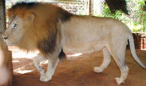 Galdino Saquarema Noticia: Encontrado no criadouro do verdadeiro dono o leão Rawell.