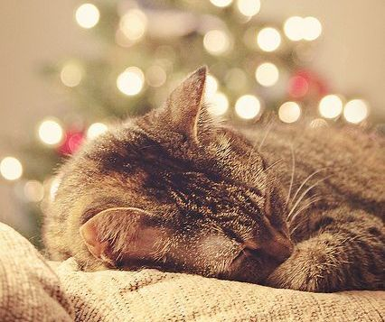 PetsLady's Pick: Cute Christmas Cat Nap Of The Day  ... see more at PetsLady.com ... The FUN site for Animal Lovers