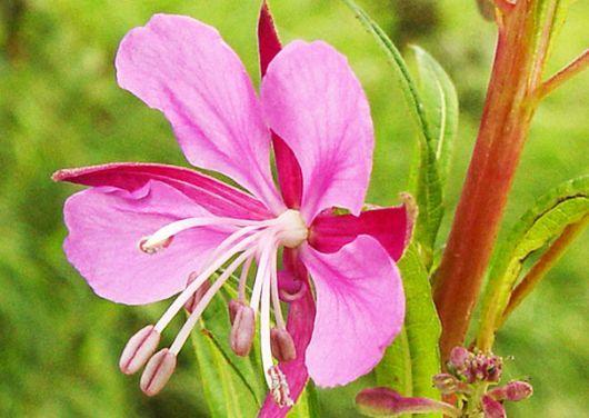 Ceai de Pufuliţa cu Flori Mici – Boli Renale şi Tumorale