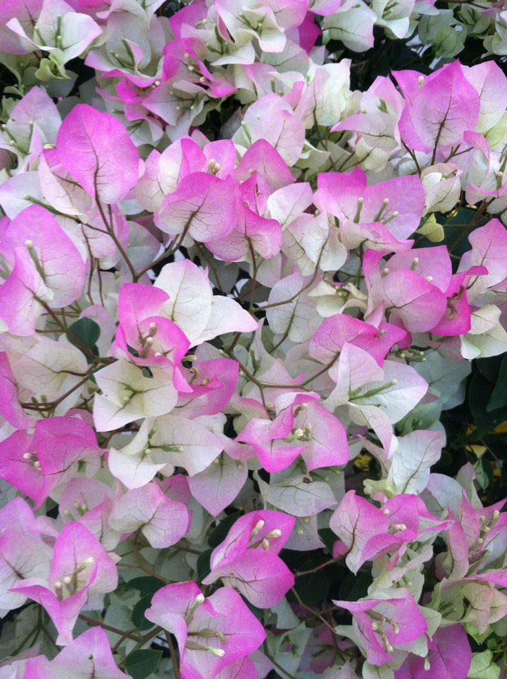 Bougainvillea Variegated Pink Amp White Orchids