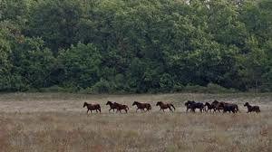 Wild horses in Letea forest