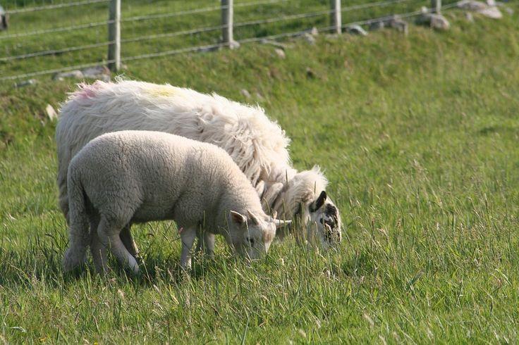 Owce na wypasie!