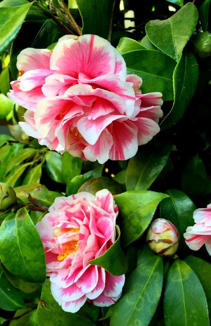 24 best Camellias images on Pinterest   Camellia, Shrub and Shrubs