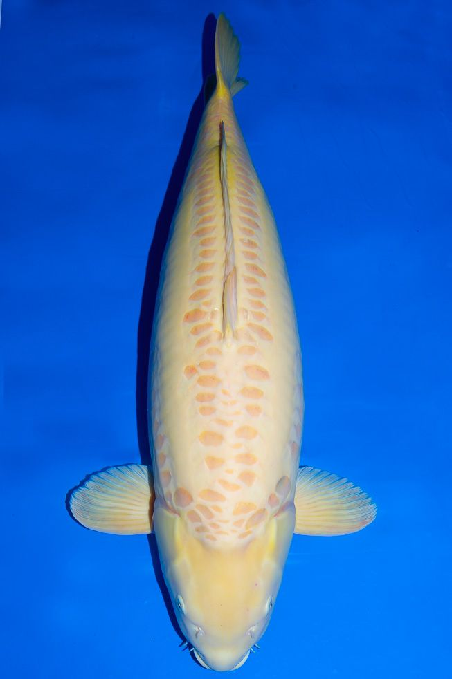 1085 best images about koi varieties on pinterest for Japan koi wild