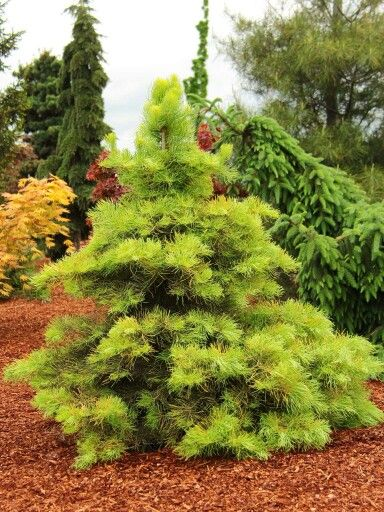 17 best images about evergreens or conifers on pinterest for Small slow growing evergreen trees