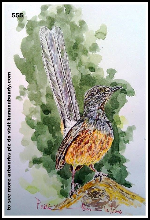 PAKHI DEKHUN PAKHI CHINUN # 530/555(Observe the Bird and recognize)...WHITE RUMPED SHAMA... WATERCOLOUR...A4...2015... [FROM PHOTOGRAPH OF MR. PRATIK HAMNABADKAR] ... The white-rumped shama (Copsychus malabaricus) is a small passerine bird of the family Muscicapidae. Native to densely vegetated habitats in the Indian subcontinent and Southeast Asia, its popularity as a cage-bird and songster has led to it being introduced elsewhere. It was formerly classified as a member of the thrush…