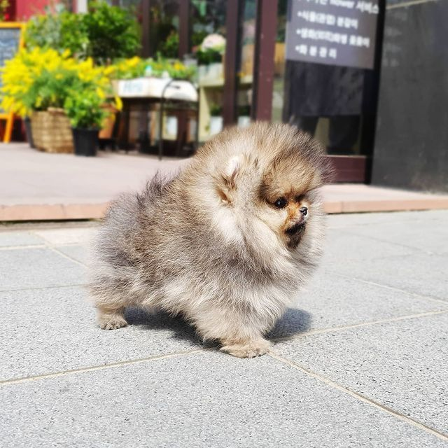 Affordable Teacup Pomeranian Puppies For Sale In 2021 Pomeranian Puppy For Sale Pomeranian Puppy Pomeranian Puppy Teacup