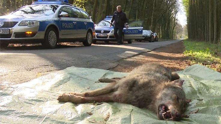 Ein Wolf liegt nach einem Zusammenstoß mit einem Auto bei Visbek (Niedersachsen) tot auf einer Landstraߟe. Es gibt immer mehr wildlebende Wölfe in Deutschland. | Bildquelle: dpa