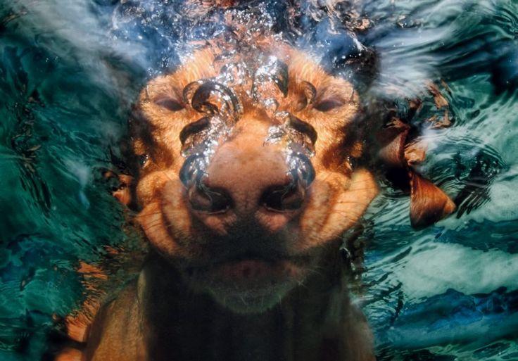 Nase zuerst: Tatum, ein Magyar Vizsla, entdeckt die Tiefen des Swimmingpools.