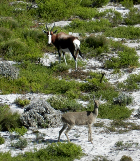 Bontebok and Grey Rhebok, Cape Point National Park, Cape Town, South Africa