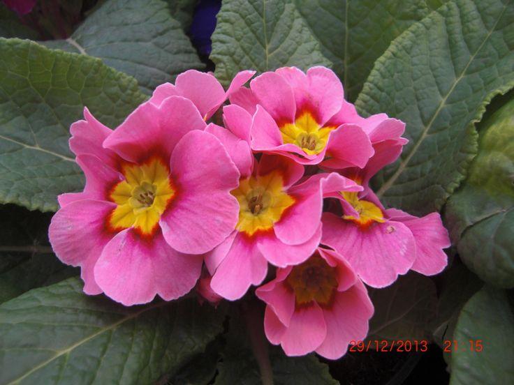 Polyanther Beauty