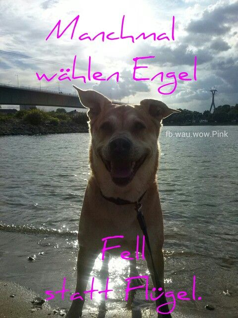 Manchmal wählen E N G E L  Fell statt Flügel.   FB.wau.wow.Pink  #Hund #Hunde
