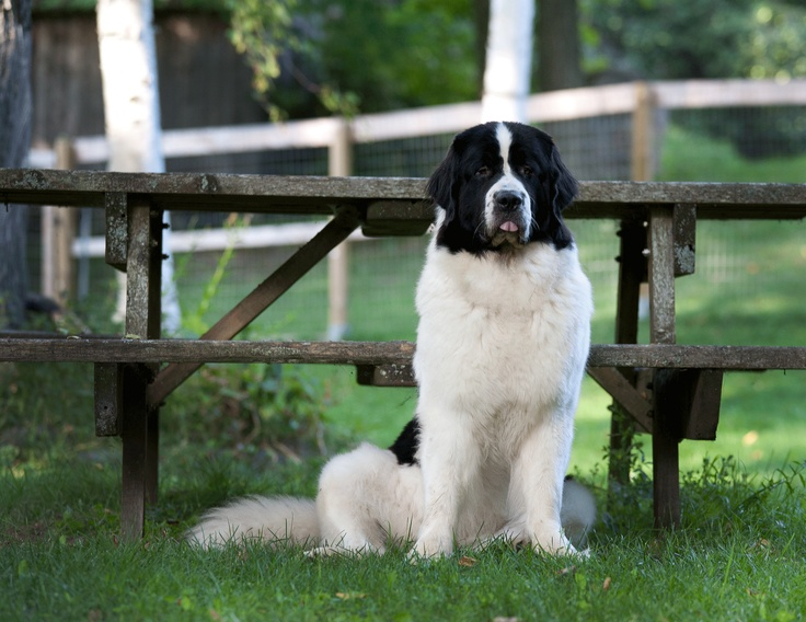 374 best images about newfoundland beautiful dogs on pinterest best dogs puppys and canvas. Black Bedroom Furniture Sets. Home Design Ideas
