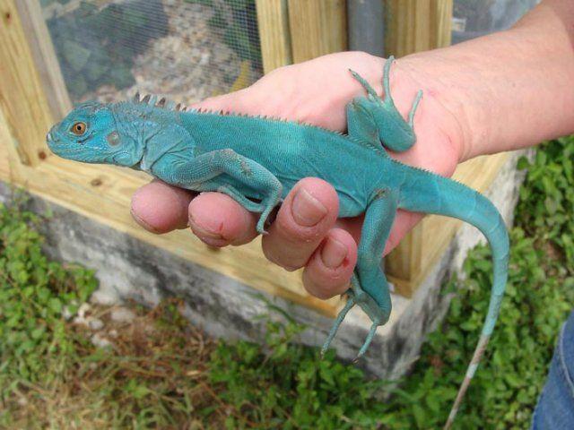 31 Best Iguana Images On Pinterest