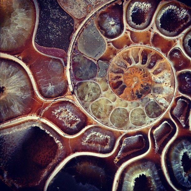 ammonite closeup. fractals in nature.