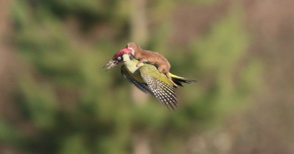 """Martin Le-May, an amateur photographer from England, captured an incredible photograph of a weasel """"riding"""" on the back of a green woodpecker as it fl..."""