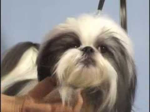 ▶ Shih Tzu Grooming - Topknot / Pet Grooming Studio - YouTube