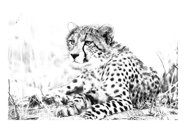 BW animal print of a young cheetah by wildlife photographer Dave Hamman