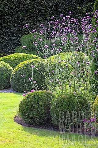 verbena bonariensis i used to grow it with head popping up above lower flowers. this verbena can grow to 6 ft tall. a fav