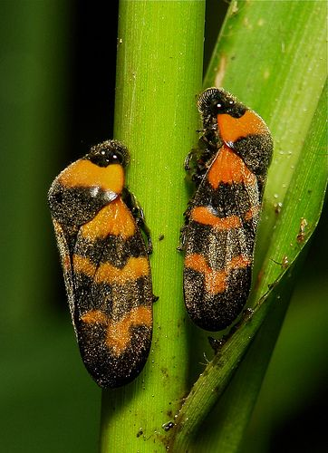 ˚Froghoppers (Cosmoscarta sp., Cercopidae)