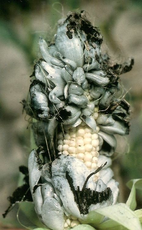 HUITLACOCHE:    Huitlacoche dates back to the Aztecs who enjoyed the naturally-occuring corn fungus as part of their diet. They would use the corn and the attached fungus in tamales and stews. Many Native American tribes also consumed the fungus and viewed it as a delicacy.