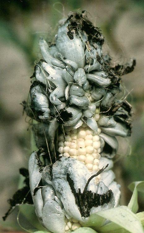 Gastronomía Mexicana - El huitlacoche. En México este hongo es considerado una herencia culinaria desde épocas prehispánicas. ✿⊱╮